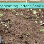 Transplanting indoor seedlings with delcious pairings