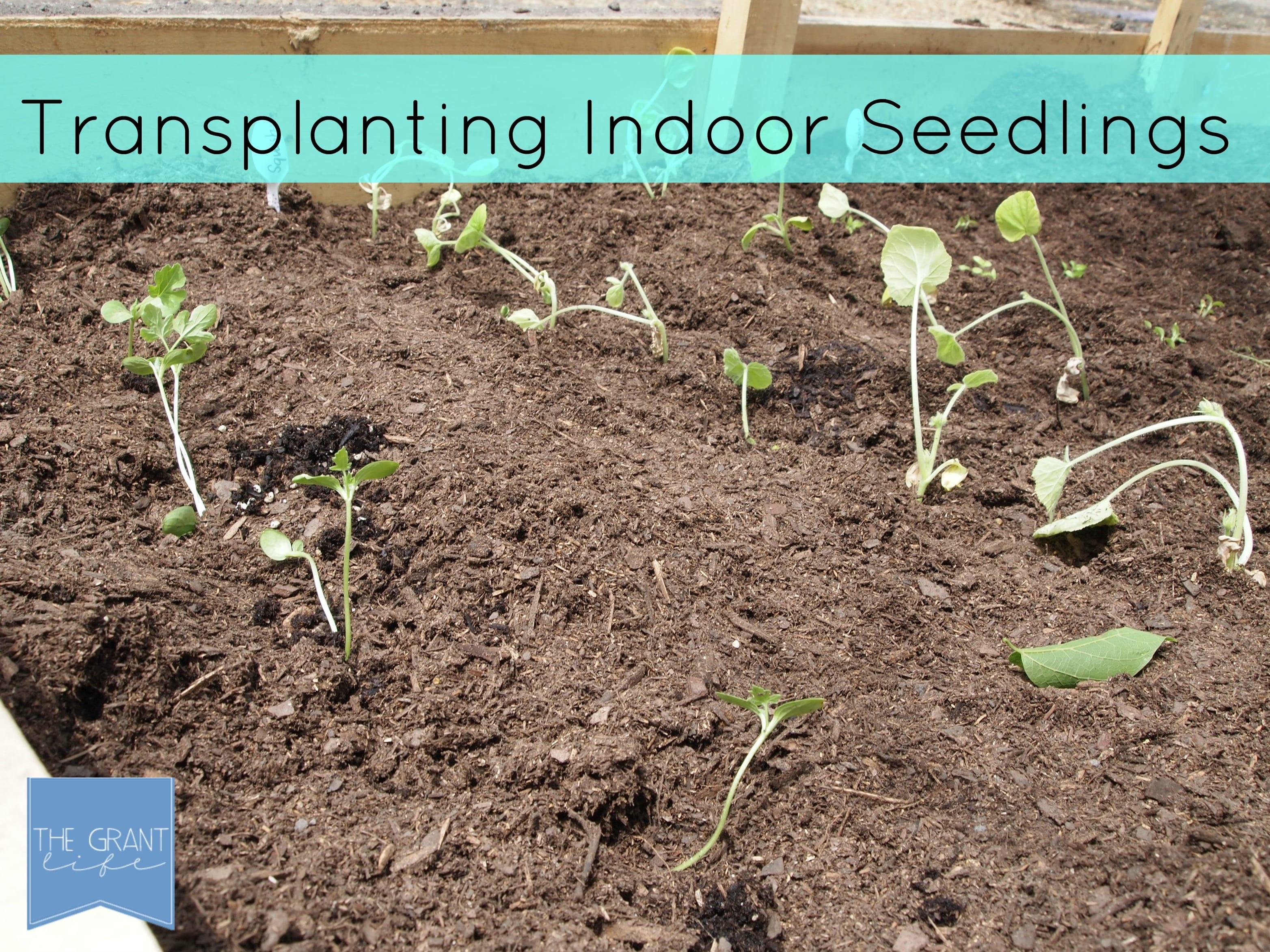Transplanting indoor seedlings with delcious pairings