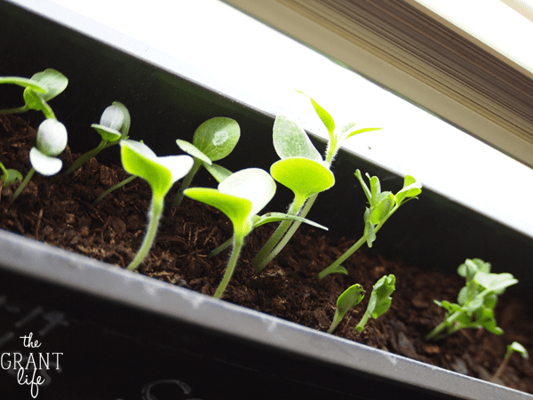 seed starters using kcups